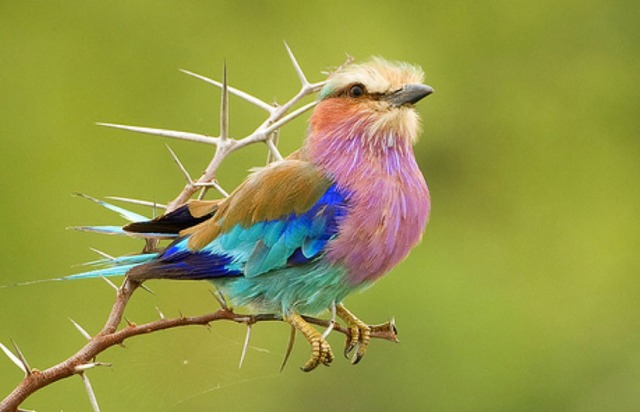 http://sitiodopicapauangolano.files.wordpress.com/2011/11/lilac-breasted-roller-africa-2.jpg?w=640&h=412