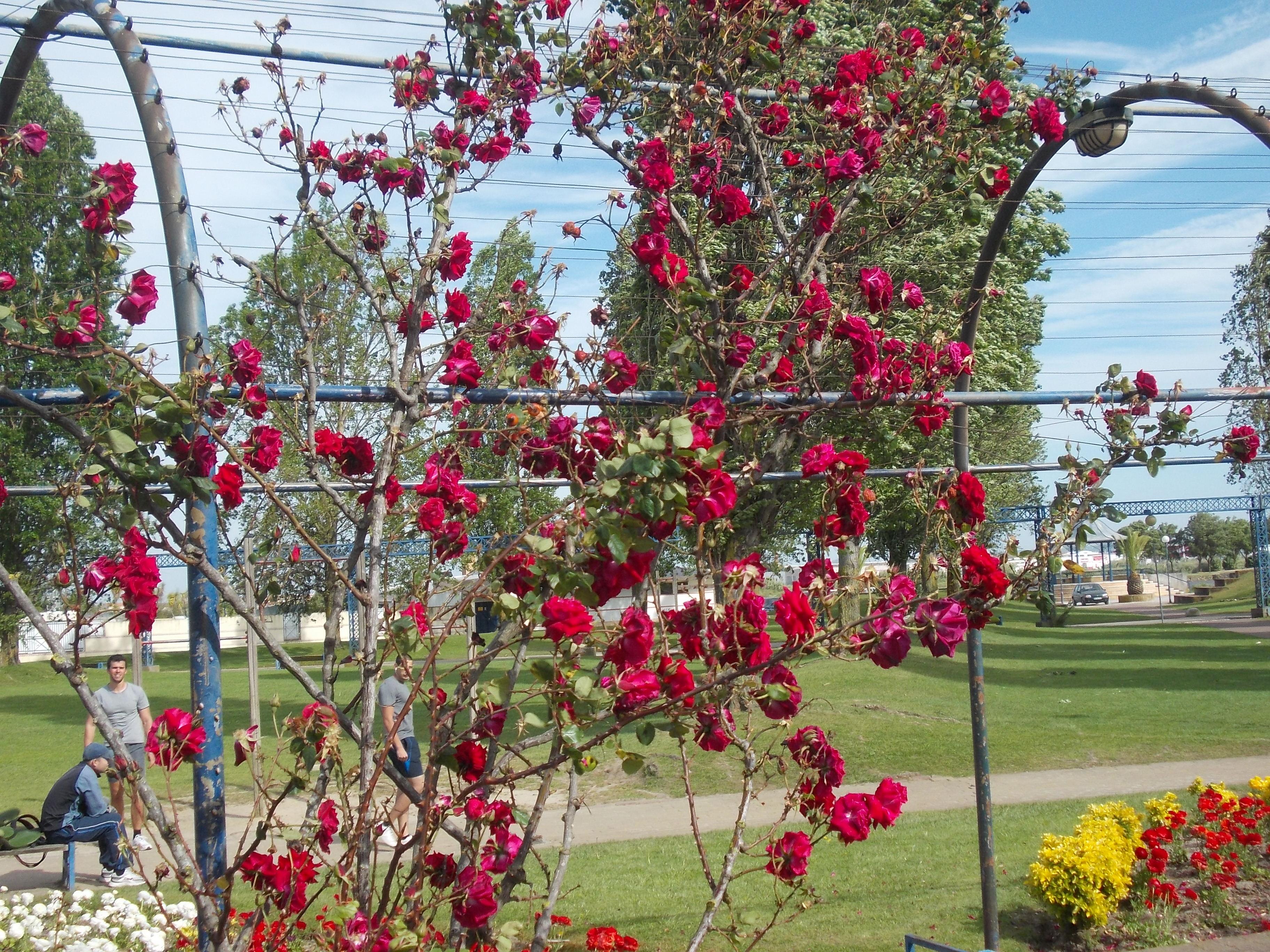 jardim rosas vermelhas:Rosas Vermelhas