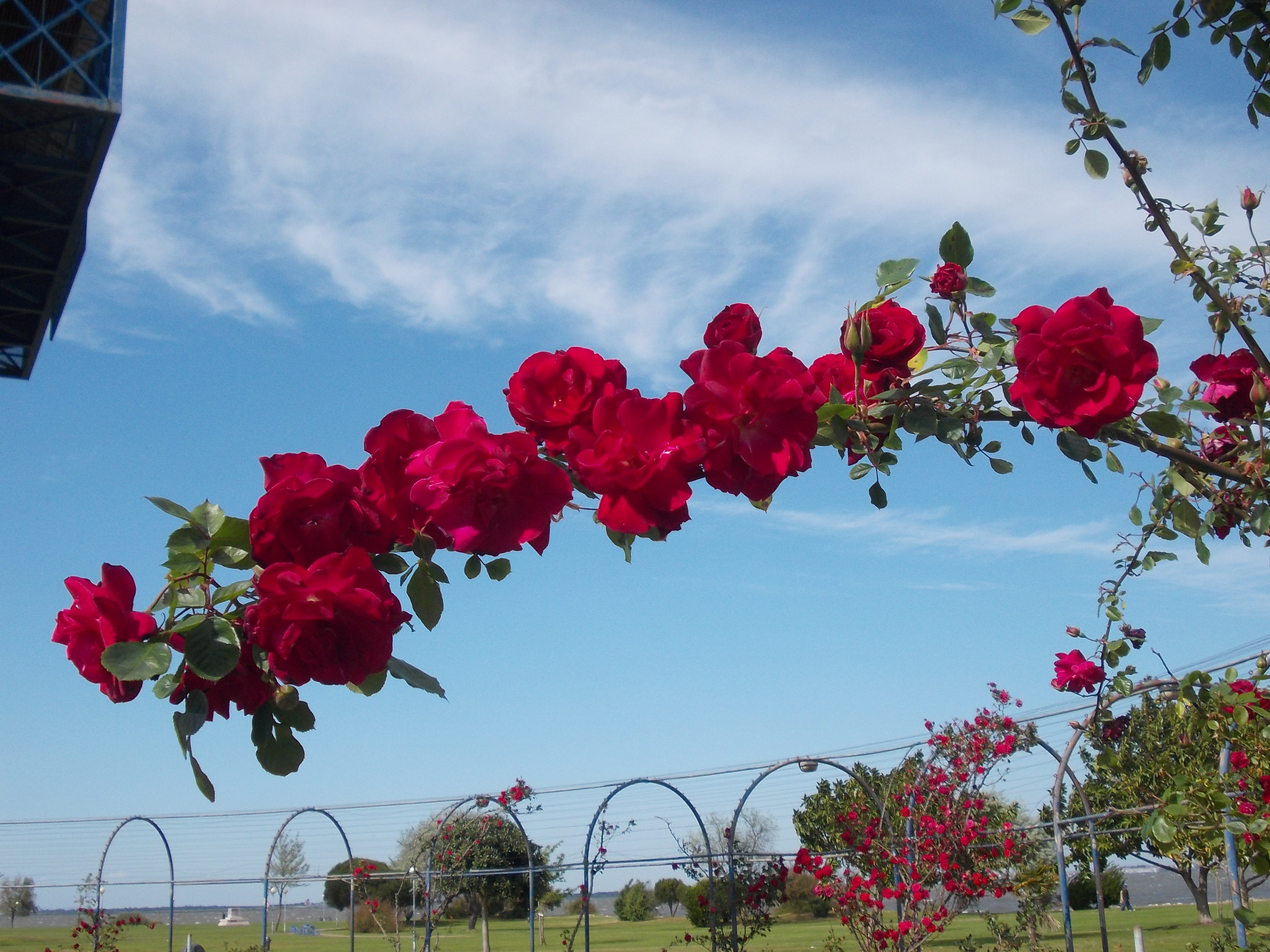 jardim de rosas em angola ? Doitri.com