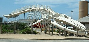 BALEIA AZUL ..esqueleto
