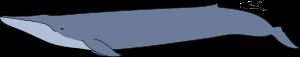 BALEIA AZUL - IMAGEM COMPARATIVA entre tamanhos (baleia-homem)