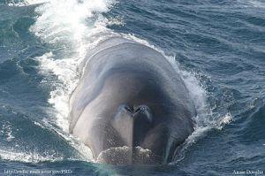 Baleia comum 3 aproximaçõ de uma baleia