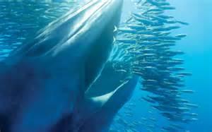 Baleia de Bryde apanhando um cardume de sardinhass