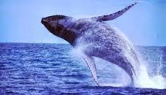 baleia Jubarte ou baleia de bossa