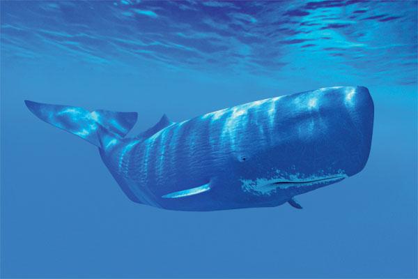 Baleias - o cachalote