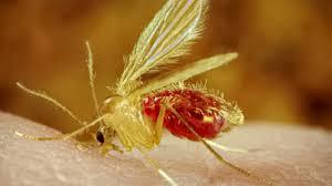 Mosquito Palha 2