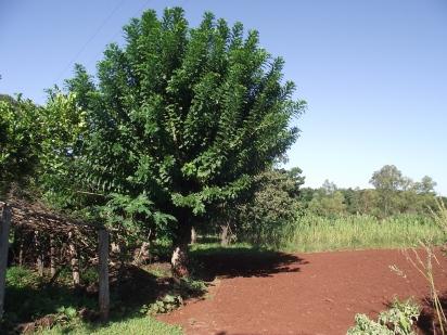 Árvore_de_Seriguela_no_Paraná