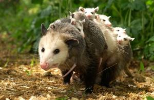 fémea de opossum_com filhos....img 3