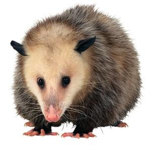 opossum-img 2